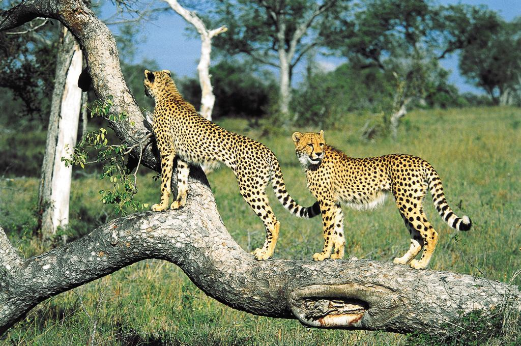 micato cheetahs east africa